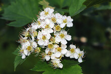 The Hawthorn Shrubs. Crataegus...