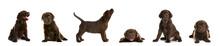 Set Of Chocolate Labrador Retr...