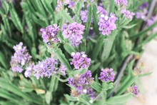 Closeup Picture Of Purple  Ver...