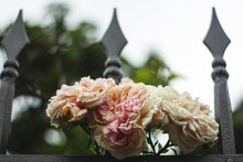 Low Angle Shot Of Pink Roses G...