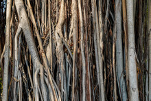 Banyan Root Background. Close Up Of Aerial Roots Of Large Bodhi Banyan Trees. Older Banyan Trees Are Characterized By Aerial Prop Roots That Mature Into Thick, Woody Trunks. Wallpaper And Texture .