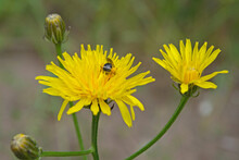 Yellow Dandelion Flowers On Fork On Tall Stalk, Two Blooming And Two Buds On Blurred Background Of Grass And Gray Earth. In One Of Flowers Bee Burrowed Collecting Nectar, Visible Its Vague Fuzzy Tail