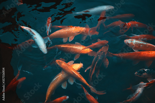 Canvas-taulu Golden carps and koi fishes in the pond