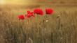 canvas print picture - Mohnblumen im Feld