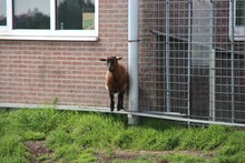 Curious Goat On A Farmland In ...