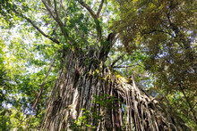 Yungaburra, Australia; March 2020: Curtain Fig Tree With Aerial Roots Growing From Top To Ground. Filtered Sun Light Through Green Leaves. Cairns Atherton Tablelands,Yungaburra, Australia