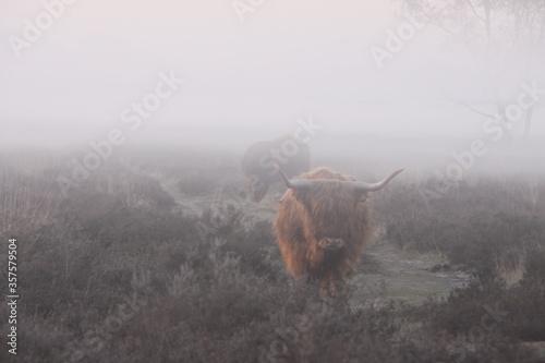 Fotografie, Obraz Scottish highlanders in a misty moorland.