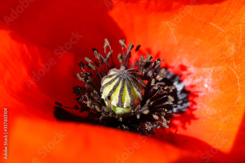 Macro closeup of isolated red corn poppy flower (papaver rhoeas) with papery pet Canvas Print