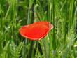 roslina o czerwonych kwiatach o nazwie mak polny rosnacy w poblizu drogi polnej w miejscowosci fasty na podlasiu w polsce