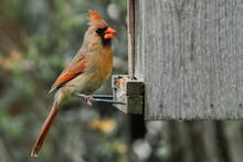 Female Cardinal Eating At Bird...