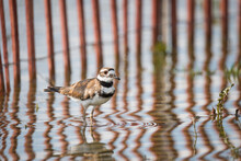 A Killdeer Pauses In Some Shallow Water In Front Of A Fence Designed To Reduce Erosion Near A Flooded Section At Woodbine Beach In Toronto, Ontario.