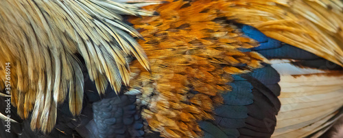 Fotografía Closeup of beautiful rooster feathers used to make a background