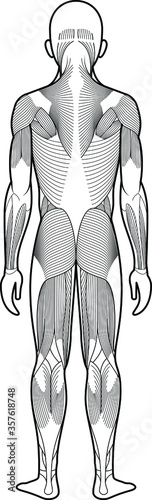 Fotografía Stylized anatomy diagram showing major muscle groups