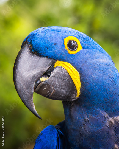 Blue Hyacinth Macaw Parrot in a wildlife rescue center