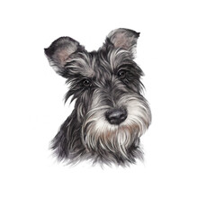 Realistic Portrait Of Scottish Terrier Dog Isolated On A White Background. Animal Art Collection: Dogs. Hand Painted Illustration Of Pets. Art Background For Pillow, T-shirt, Cover. Design Template