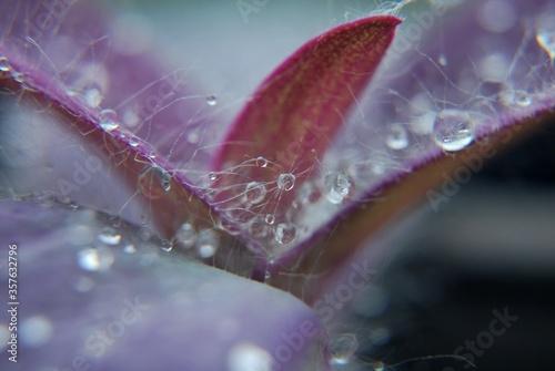 rosa na liściach