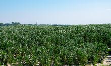 Plantation Of Broad Beans Or V...