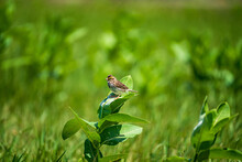 Chipping Sparrow On A Leaf