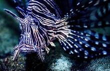 Closeup Shot Of Underwater Lio...