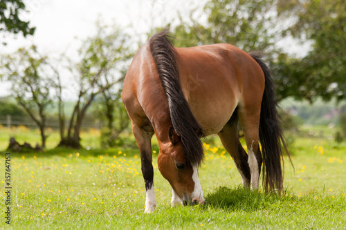 Fototapeta Lone pony happily grazing in field on a sunny day in rural England