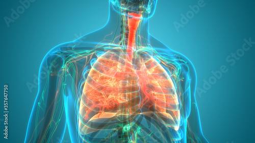 Human Respiratory System Lungs Anatomy Canvas Print