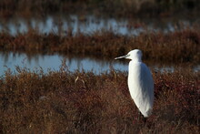 Snowy Egret Standing In A Marsh