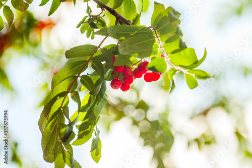 bunch of rowan berries on a branch among foliage Canvas Print