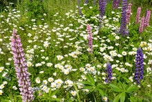 Glade Overgrown With Green Grass Blooming Daisies And Lupins On A Summer Sunny Day.