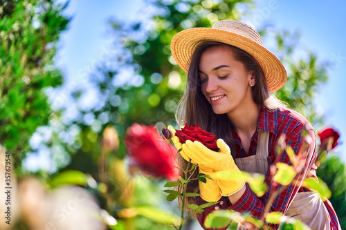 Fototapeta Attractive happy smiling woman gardener in straw hat, apron and yellow rubber gloves smells and enjoys of the scent of a rose flower in the home garden in sunny day obraz