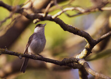 Northern Wheater Small Bird On A Tree Bark Portrait Close Up
