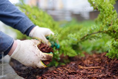 Gardener mulching with pine bark juniper plants in the yard Fototapete