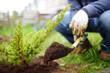 canvas print picture - Gardener planting juniper plants in the yard. Seasonal works in the garden. Landscape design. Landscaping.