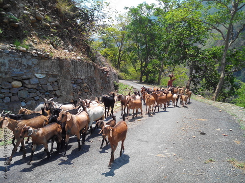 Fotografie, Tablou A herd of Indian Goats with a Goatherd