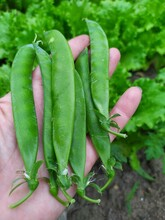Young Green Pea Pods In The Pa...
