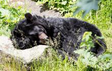 Himalayan Bear Sleeping On The Stone On A Sunny Day.