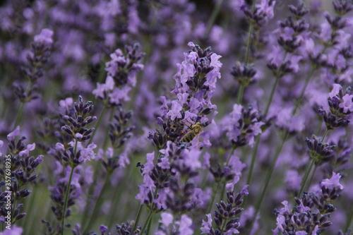 lawenda rosliny kwiatki pszczola owady natura łaka - 357698935