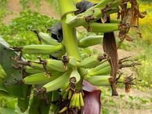 Bunch Of Green Bananas On A Ba...