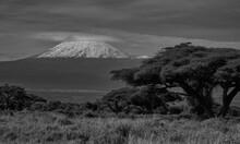Elephant Group Amboseli - Big Five Safari -Kilimanjaro African Bush Elephant Loxodonta Africana