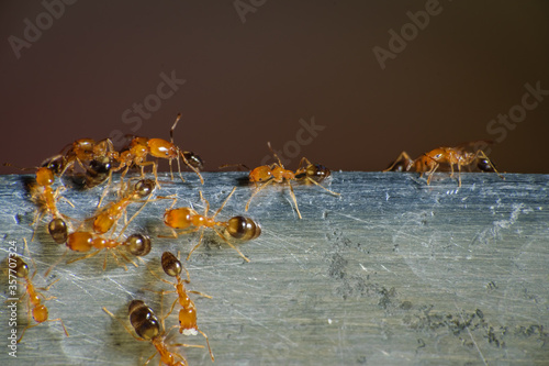 Photo Group of pharaoh ants roaming around for food