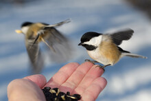Flying Black Capped Chickadees With With Orange Feathers At Hand Of Man With Sunflower Seeds And Peanuts In A Snowy Toronto Forest In Winter