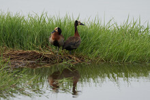 White Faced Whistling Duck Den...