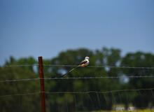 Scissor Tailed Flycatcher On Barbed Wire