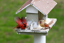 Red Cardinals Eating At Bird F...
