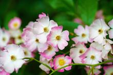 Pink Ballerina Musk Rose Flowers