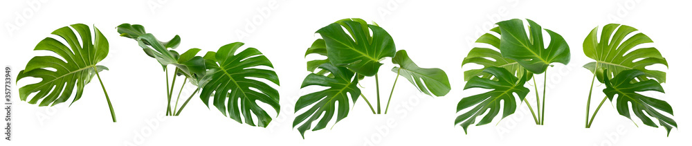 Fototapeta collection of green monstera tropical plant leaf on white background for design elements, Flat lay,clipping path