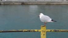Yellow Bill Seagull Posing At Pier