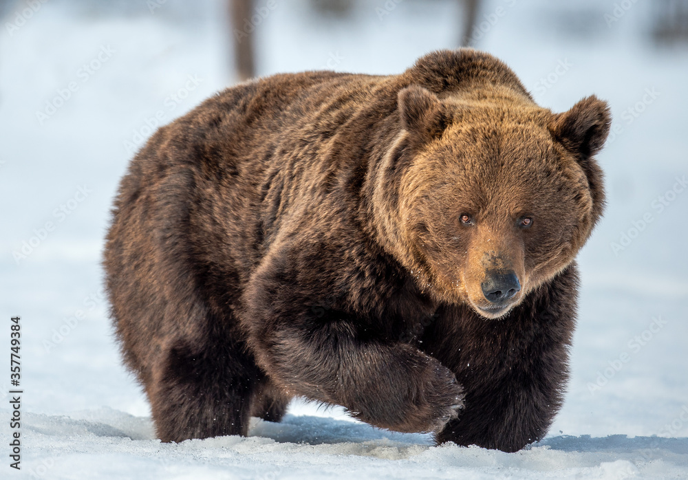 Brown bear walking on the snow in winter forest. Front view. Scientific name: Ursus Arctos. Wild nature.  Natural Habitat.