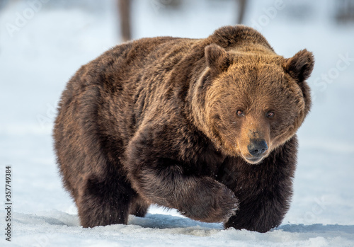 Brown bear walking on the snow in winter forest. Front view. Scientific name: Ursus Arctos. Wild nature.  Natural Habitat. #357749384