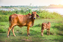 Cows Standing In The Beside River, Mekong River Thailand.