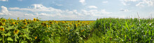 Panorama Of Agricultural Field...